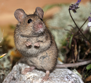 House mouse. Photo: Martti Londen