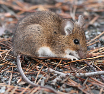 Yellow-necked wood mouse_vastavalo