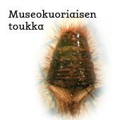 museokuoriainen_teksti