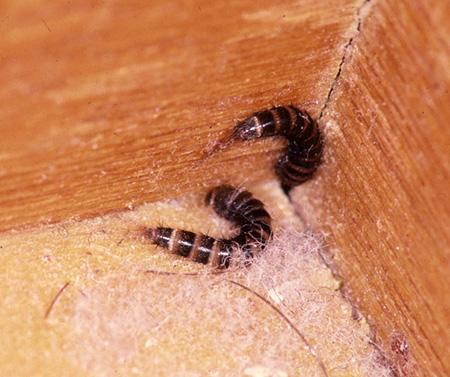 fur beetle larvae