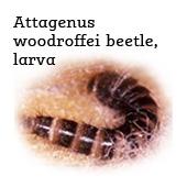 attagenus woodroffei