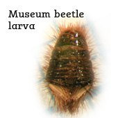 Museum beetle larva